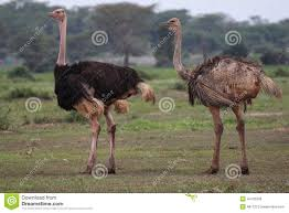 featherless ostrich. Fine Ostrich Two Ostriches Inside Featherless Ostrich