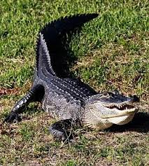 2017 Alligator Price Chart Florida Ready To Choot Em How Much Does A Gator Hunter Really