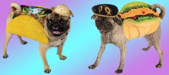 pug in taco costume.  Taco Taco Loving Pugs Intended Pug In Costume U