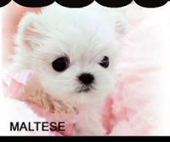 white teacup yorkie puppies for sale. Fine Puppies Inside White Teacup Yorkie Puppies For Sale F