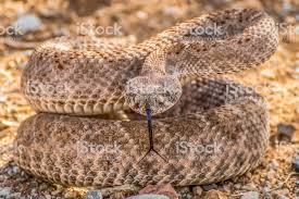 rattlesnake strike pose. Beautiful Rattlesnake Rattlesnake Coiled In Strike Pose Facing Camera With Tongue Out  Royaltyfree Stock Photo In N