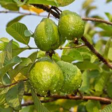 Tropical Fruit Plants  Tropical Fruit Trees  Fast Growing TreesFruit Tree Sale Houston