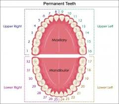 Dental Numbering Chart What Are All Those Numbers And Letters My Ballston Spa