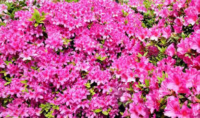 Cornus Florida Rubra Garden Spring Flowering Shrub With Pink Shrub With Pink Flowers