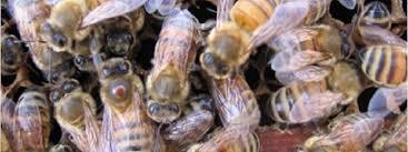 Varroa Mites Bee Lab