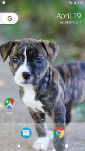 pitbull puppy wallpaper hd. Plain Pitbull Pitbull Pup Wallpaper HD On Puppy Hd U