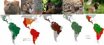 ocelot size abes animals range maps for each latin american cat