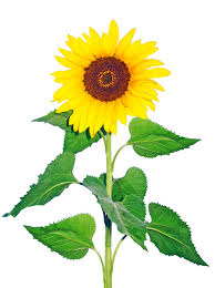 average american flower size thinking about growing for market here are the ten most