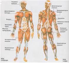 Строение человека скелет и мышцы Мышечный скелет человека Кости  Строение человека скелет и мышцы Мышечный скелет человека Кости и мышцы
