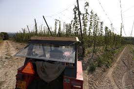 dry summer takes toll on czech crop of hops