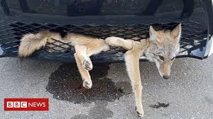 Coyote travels 35km 'embedded' in <b>car grille</b> - BBC News