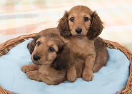 miniature long haired dachshunds from