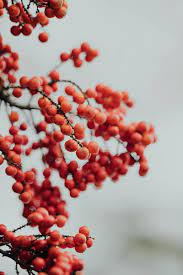 Berry, mountain ash, red, winter, HD ...