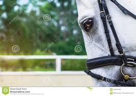 white horse face side.  Face Download White Horse Half Face Looking Forward On Show Jumping Or Dressage  Competition Green Blur With Side S