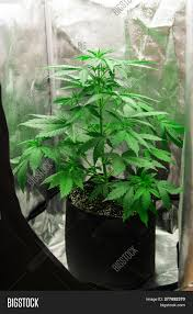 Indoor Grow Box With Lights Northern Light Strain Image Photo Free Trial Bigstock