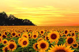 Aesthetic Sunflower Computer Wallpapers ...