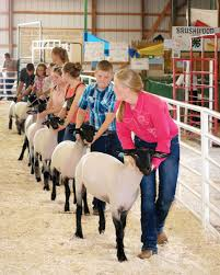 photo essay animals and their owners the clare county review youth showman parade around the area their lambs giving the judge the best view of