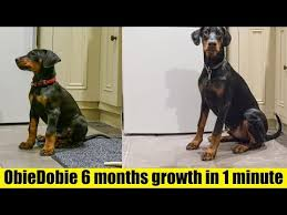 Doberman Growth Chart Female Timelapse Of Doberman Puppy From 8 Weeks To 6 Months Hd 4k