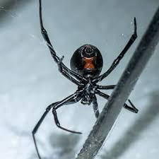 Common Florida Spiders Dangerous Or Harmless