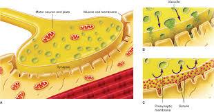 tetanus toxin clostridium peptostreptococcus bacteroides and other anaerobes