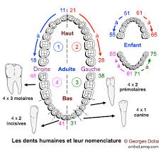 Teeth Numbers Chart Usa Specific Tooth Number Chart Usa Pediatric Tooth Chart
