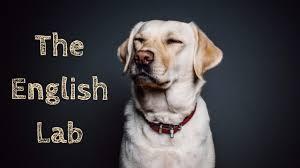 English Lab Facts About English Vs American Labrador