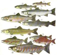 How To Identify Salmon And Trout Identification