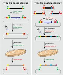 Restriction Enzyme Type Iis Restriction Enzymes Allow Efficient Dna Assembly The Basic