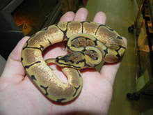 ball python for sale. spider ball python for sale y