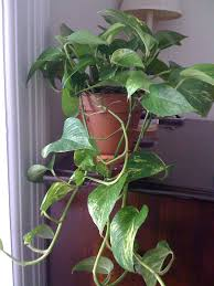 Not Enough Light For Plants Pothos Plant Tips For Easy Pothos Care