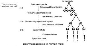 What Is Spermatogenesis Briefly Describe The Process Of