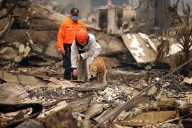 a search dog works on locating fire victims in the rubble of the shelter cove apartments