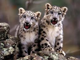 background images animals. Delighful Background Free Leopard Wallpaper Wallpapers And Background In Background Images Animals