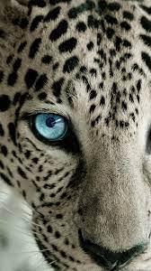 Snow Leopard HD Wallpapers - Wallpaper Cave