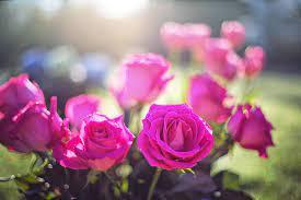hd wallpaper pink flowers roses buds