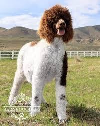 Bonnie Standard Poodle