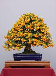 3 bonsai mini gold treasure tree seeds tiny cute fruit seeds home garden office backyard heirloom bonsai tree for office