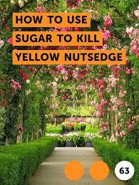 How To Use Sugar To Kill Yellow Nutsedge Getting Rid Of