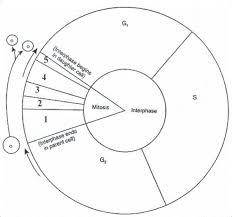 Cell Cycle Pie Chart Cell Cycle Pie Chart Diagram Quizlet