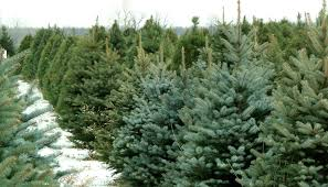 Christmas Tree Farms in