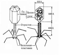 Вирусы строение жизнедеятельность Вирус палочковидный