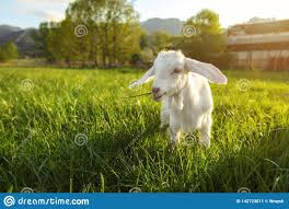Light Farm White Goat Kid Grazing On Green Spring Meadow Sun Back