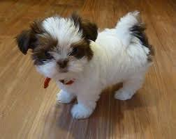 shih tzu puppies for manila