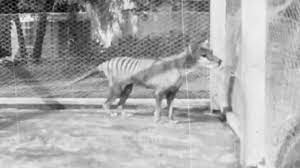 Australia, rinvenuto un vecchio filmato di Benjamin: l'ultima tigre della  Tasmania - YouTube