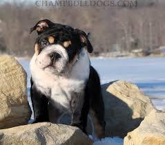 tri black english bulldog pictures
