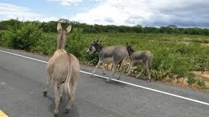Resultado de imagem para os animais nas estradas do rio grande norte