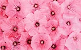 pink flower wallpaper high definition