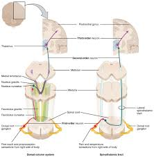 Light Touch Is Sensed By The 14 5 Sensory And Motor Pathways Anatomy Physiology