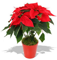 Office feng shui plants Office Desk Poinsettia Plants Can Enhance Feng Shui Of Your Home And Office Just Creative Feng Shui Tips For Christmas How To Boost Your Feng Shui At