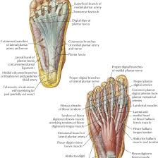 Fascia Chart Connective Tissue Of The Foot Diagram Get Rid Of Wiring